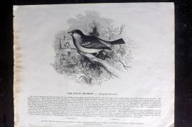 SPCK 1842 Folio Bird Print. House Sparrow